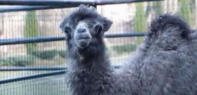 Gdańskie zoo: Na świat przyszła samica wielbłąda dwugarbnego [WIDEO]-8308
