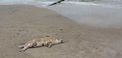Dramat na polskim wybrzeżu: w ciągu tygodnia znaleziono dziesiątki martwych fok-9081