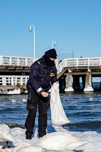 Interwencja na sopockiej plaży: powracający problem dokarmiania ptaków chlebem [FOTO]-472
